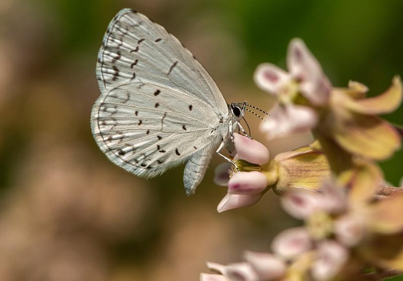 Summer Azure on Common Milkweed