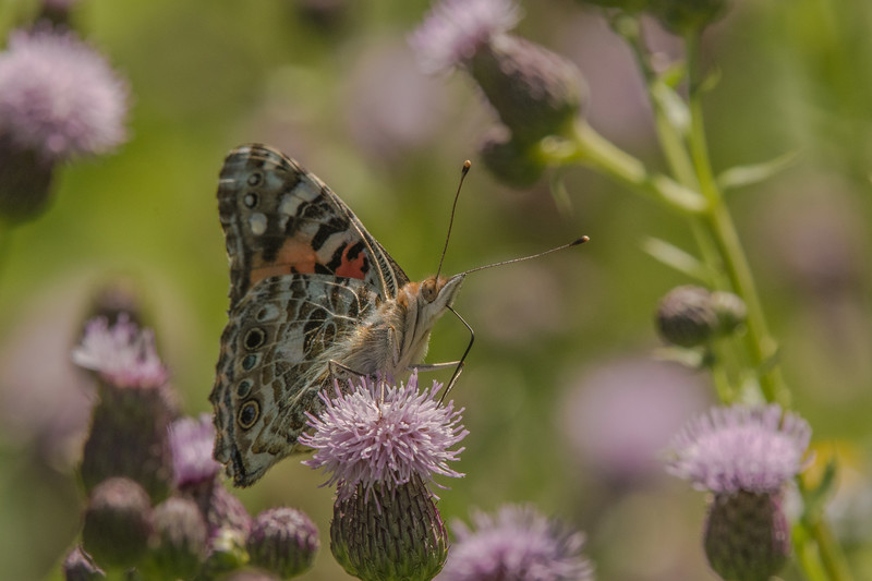 Painted Lady on Field Thistle