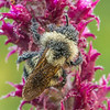 Dew-covered Bumble Bee on Blazing Star