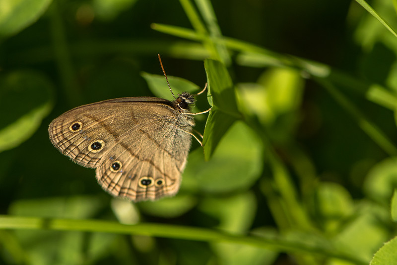 Small Satyrs Butterfly
