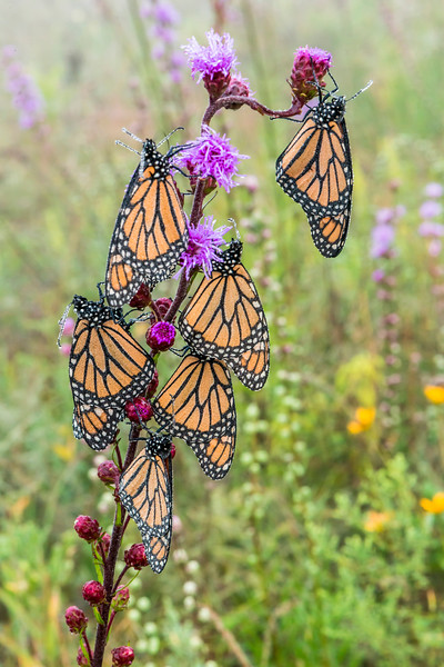 Dew-covered Monarchs