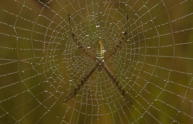 Orb Weaver spider on dew-covered web