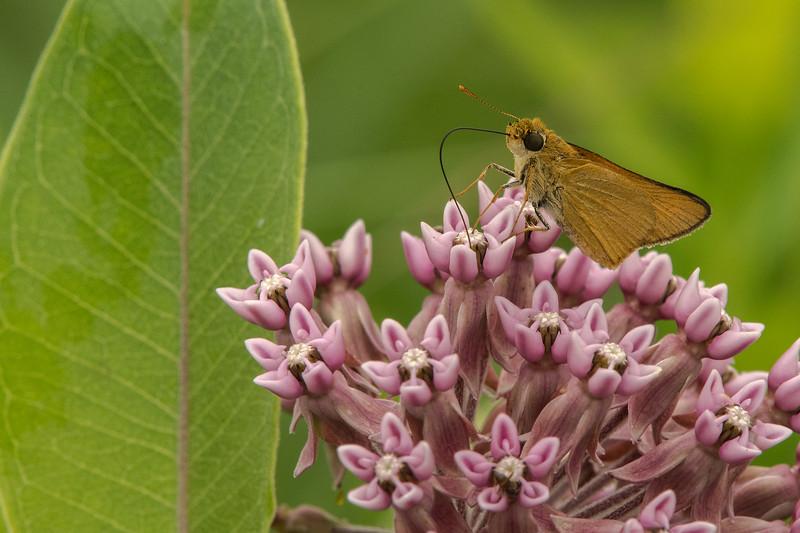 Least Skipper nectaring on Common Milkweed