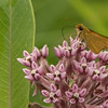 Least Skipper nectaring on Common Milkweed