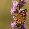 Painted Lady on Rough Blazing Star
