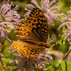 INST-13-42: Great Spangled Fritillary Butterfly on Bergamot