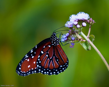 Butterfly Loxahatchee NWR Florida © 2009