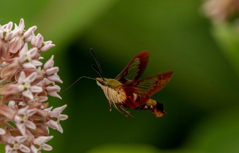 Clearwing Hummingbird Moth