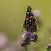 Red Admiral backlit