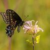 Black Swallowtail on Bergamot