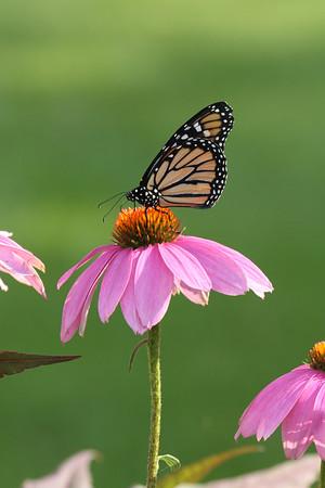 Monarch Butterfly R (Danaus plexippus)