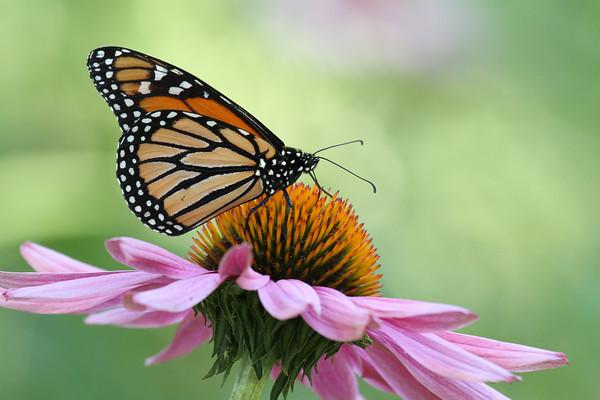 Monarch Butterfly K (Danaus plexippus)