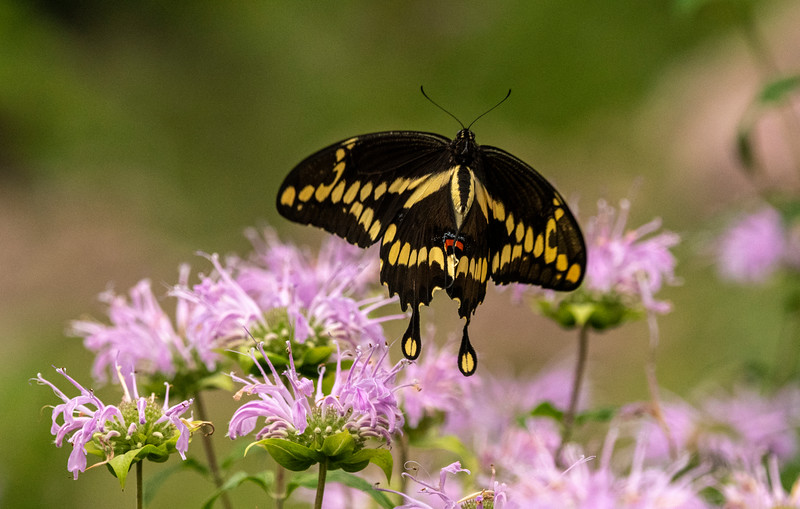 Giant Swallowtail flying