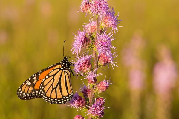 Monarch on the prairie