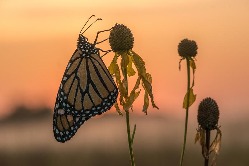 Foggy morning Monarch