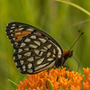 Regal Fritillary on Butterfly Milkweed