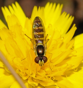 Hoverfly, July
