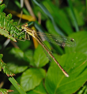 Southern Emerald Damselfly - Lestes barbarus, July