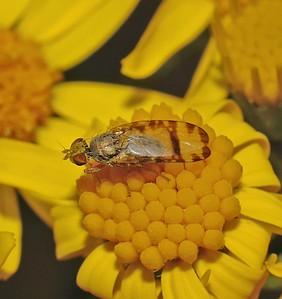 Sphenella marginata, July
