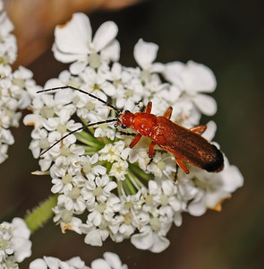 Common Red Soldier beetle - Rhagonycha fulva, July