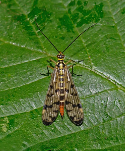 Scorpion fly - Panorpa communis, July