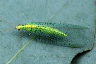 Chrysopidae - Lacewings