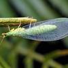 Plesiochrysa ramburi