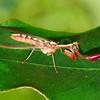 Asperala erythraea