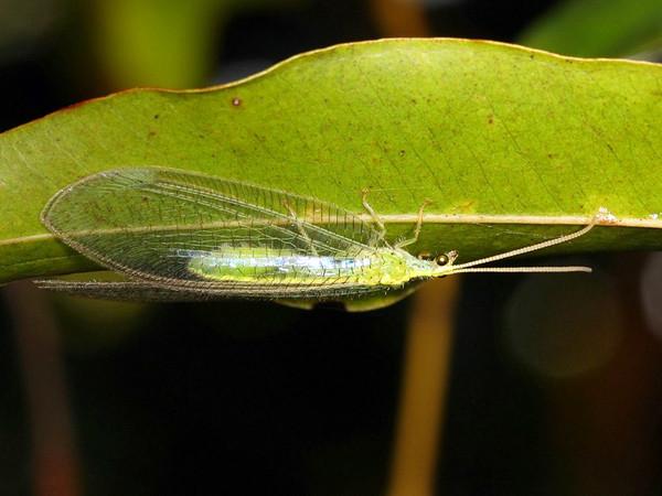 Myiodactylus sp.