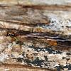 Stenosmylus stenopterus