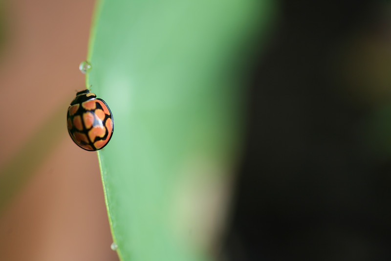 ladybird, lunate ladybird, ladybug, cheilomenes lunata, bug, insect, nature