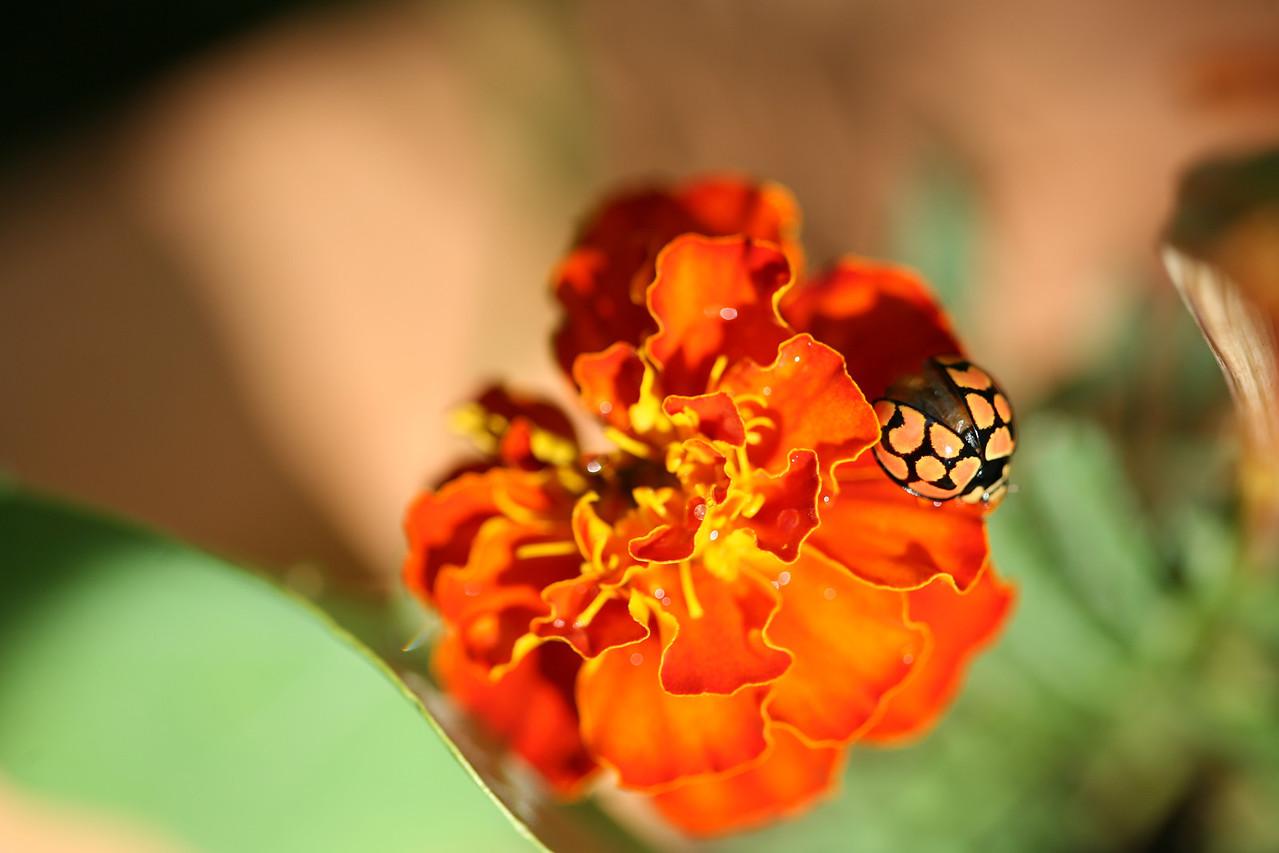 ladybird, lunate ladybird, ladybug, cheilomenes lunata, bug, insect, nature, marigold, tagetes, asteraceae, flower