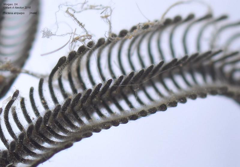 Abantiades atripalpis  (male)   antennae closeup