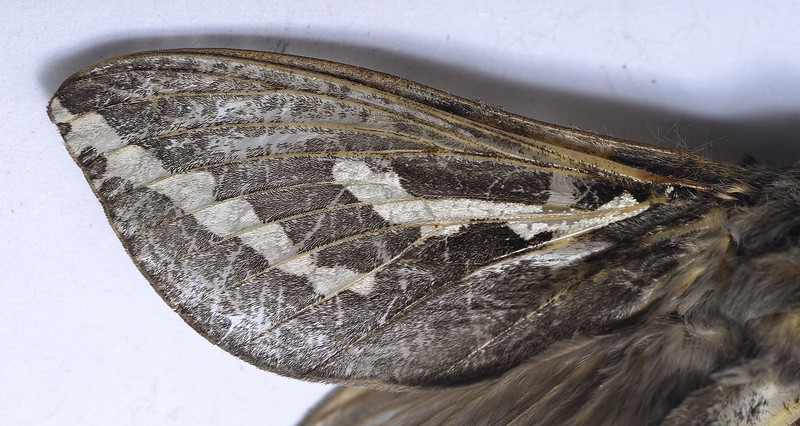 Trictena atripalpis  (female)   wing