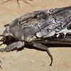 Abantiades marcidus  (male)