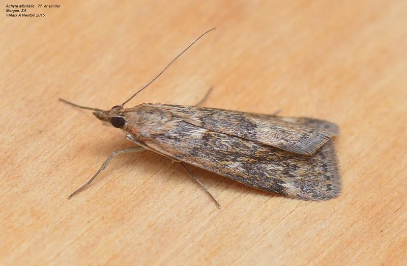 Achyra sp. cf. affinitalis