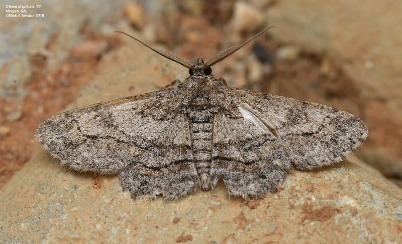 Cleora sp. cf. displicata