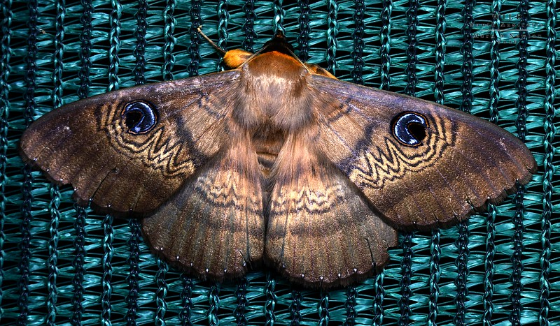 Dasypodia selenophora   (Old Lady Moth)