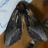 Notodontidae: Hylaeora sp (undescribed)