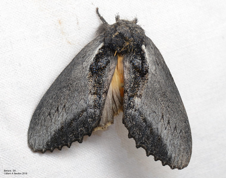 Hylaeora sp. 'ANIC 1' cf caustopis