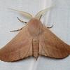 Monoctenia sp. 'ANIC 2'