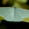 Prasinocyma albicosta (Geometridae)