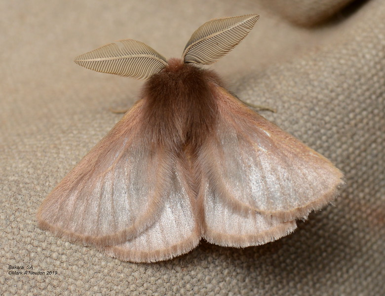 Pterolocera sp. 'ANIC 1'