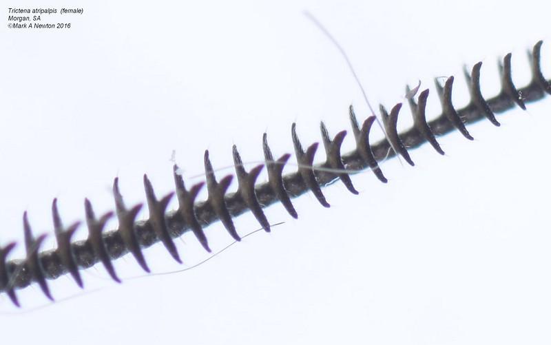 Trictena atripalpis  (female)   antennae closeup