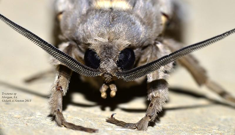 Abantiades marcidus  (male)  closeup