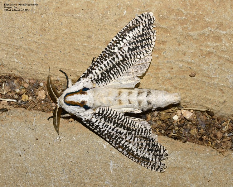 Endoxyla sp  (Goat / Wood Moth)