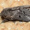 Porela sp ( Lasiocampidae)