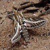 Hyles livornicoides (Common striped hawk moth)