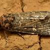 Ectopatria sp. cf. horologa