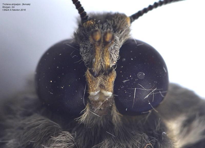 Trictena atripalpis  (female)   closeup